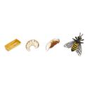 Cykl rozwoju pszczoły