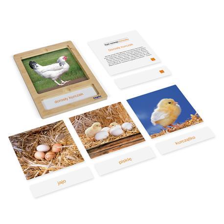 Rozwój kury: karty z tacką, PL-3245