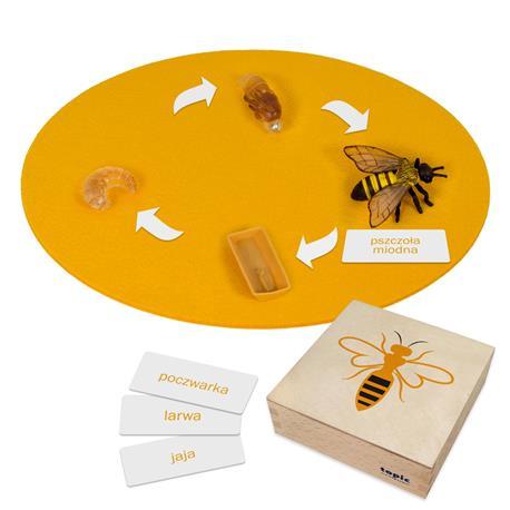 Rozwój pszczoły: figurki w pudełku, PL-4355